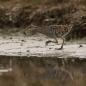 Banded rail. Adult with mud crab. Miranda, February 2016. Image © Bartek Wypych by Bartek Wypych