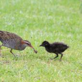 Banded rail. Adult feeding chick. Great Barrier Island. Image © Jenny Atkins by Jenny Atkins www.jennifer-m-pics.ifp3.com