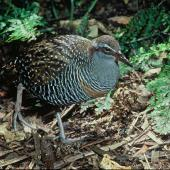 Banded rail. Adult. . Image © Department of Conservation (image ref: 10033341) by Dick Veitch, Department of Conservation Courtesy of Department of Conservation