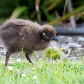 Weka. Western weka chick. Westport, December 2013. Image © Laurie Ross by Laurie Ross Courtesy of Laurie Ross Photography - http://laurieross.com.au/
