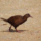 Weka. Adult Stewart Island weka. Ulva Island, Stewart Island, January 2008. Image © Suzi Phillips by Suzi Phillips For more information see articles by Suzan Phillips at http://suite101.com/bird-watching-in-new-zealand-c169