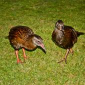 Weka. Western weka - adult (left) and immature. Lyell, March 2010. Image © Raewyn Adams by Raewyn Adams