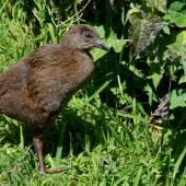 Weka. Juvenile western weka . Titirangi, Marlborough Sounds, October 2014. Image © Shellie Evans by Shellie Evans www.tikitouringnz.blogspot.co.nz