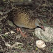 Weka. Adult eating Fiordland crested penguin egg. Open Bay Islands, August 1985. Image © Colin Miskelly by Colin Miskelly