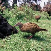 Weka. Buff weka feeding. Taiko Camp, Chatham Islands, December 1997. Image © Alan Tennyson by Alan Tennyson