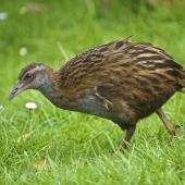 Weka. Adult North Island weka. Orongo Bay, Russell, September 2014. Image © Les Feasey by Les Feasey