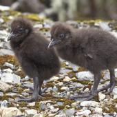 Weka. Western weka chicks. Mt Arthur Track,  Kahurangi National Park, November 2015. Image © Rebecca Bowater by Rebecca Bowater FPSNZ AFIAP www.floraanffauna.co.nz