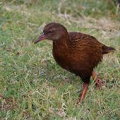 Weka. Adult male Stewart Island weka (brown morph). Ruapuke Island, Foveaux Strait, December 2012. Image © Colin Miskelly by Colin Miskelly