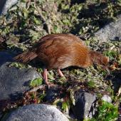 Weka. Adult Stewart Island weka. Jacky Lee Island, March 2012. Image © Colin Miskelly by Colin Miskelly