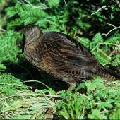 Weka. Dark morph adult western weka. Transit Valley, Fiordland, October 1977. Image © Department of Conservation (image ref: 10028339) by Dick Veitch, Department of Conservation Courtesy of Department of Conservation