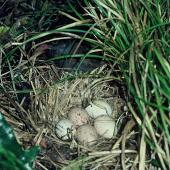 Weka. Nest with 5 eggs. Kapiti Island, November 1983. Image © Department of Conservation (image ref: 10028824) by Phil Clerke, Department of Conservation Courtesy of Department of Conservation