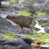 Weka. Adult buff weka. Chatham Islands, October 2010. Image © Jenny Atkins by Jenny Atkins www.jennifer-m-pics.ifp3.com