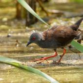 Spotless crake. Adult foraging. Pauatahanui Inlet, January 2019. Image © Roger Smith by Roger Smith
