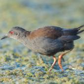 Spotless crake. Adult foraging. Pauatahanui Inlet, February 2019. Image © Imogen Warren by Imogen Warren
