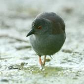 Spotless crake. Adult foraging. Pauatahanui Inlet, Wellington, February 2019. Image © Kate Beer by Kate Beer