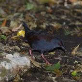 Spotless crake. Adult under forest. Aorangi Island, Poor Knights Islands, February 2013. Image © Colin Miskelly by Colin Miskelly