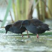 Spotless crake. Pair foraging. Pauatahanui Inlet, Wellington, February 2019. Image © Kate Beer by Kate Beer