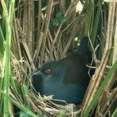 Spotless crake. Adult on nest. . Image © Department of Conservation (image ref: 10028318) by Geoff Moon, Department of Conservation Courtesy of Department of Conservation