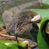 Marsh crake. Chick c.4 weeks old preening. Mangapoike Rd, 23 km from Wairoa, January 2016. Image © Ian  Campbell by Ian  Campbell