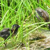 Marsh crake. Two c.1-week-old chicks. Mangapoike Rd, 23 km from Wairoa, January 2016. Image © Mary & Ian Campbell by Mary & Ian Campbell