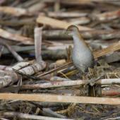 Marsh crake. Adult. Waimakariri River mouth, July 2019. Image © Donald Snook by Donald Snook