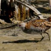 Marsh crake. Adult. Motueka Sandspit, March 2016. Image © Craig Martin by Craig Martin