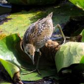 Marsh crake. Juvenile, approximately 3 weeks old. Mangapoike Rd, 23 km from Wairoa, January 2016. Image © Ian and Mary Campbell by Ian Campbell