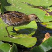 Marsh crake. Three week old juvenile hunting for aquatic insects. Mangapoike Rd, 23 km from Wairoa. Image © Ian and Mary Campbell by Ian Campbell