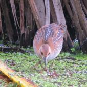 Marsh crake. Juvenile c.5 weeks old. Red eyes of adult beginning to show. Swamp, Mangapoike Rd, Wairoa, January 2016. Image © Ian Campbell by Ian Campbell