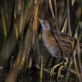 Marsh crake. Adult perched on reeds. Nelson sewage ponds, May 2018. Image © Oscar Thomas by Oscar Thomas