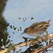 Marsh crake. Adult. Tokaanu, July 2014. Image © Robert Hanbury-Sparrow by Robert Hanbury-Sparrow