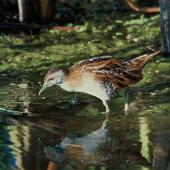 Marsh crake. Adult. Boggy Pond, Lake Wairarapa. Image © Department of Conservation (image ref: 10031400) by Peter Moore, Department of Conservation Courtesy of Department of Conservation