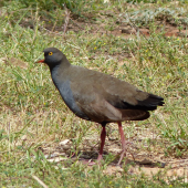 Black-tailed native-hen. Adult. Near Hawker, South Australia, October 2013. Image © Alan Tennyson by Alan Tennyson