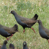 Black-tailed native-hen. Adults. Near Hawker, South Australia, October 2013. Image © Alan Tennyson by Alan Tennyson
