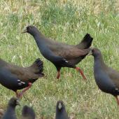 Black-tailed native-hen. Adults. Near Hawker, South Australia, October 2013. Image © Alan Tennyson by Alan Tennyson