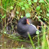 Common moorhen. Adult (subspecies chloropus). Baie de Somme, France, July 2016. Image © Cyril Vathelet by Cyril Vathelet