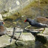 Common moorhen. Adult pair (subspecies chloropus). Crystal Palace, London, April 2018. Image © Alan Tennyson by Alan Tennyson