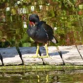 Common moorhen. Adult (subspecies chloropus). Torquay, England, June 2015. Image © Alan Tennyson by Alan Tennyson