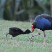 Pukeko. Adult feeding chick. Auckland, February 2015. Image © Marie-Louise Myburgh by Marie-Louise Myburgh