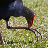 Pukeko. Using foot to hold food. Hamilton Lake, January 2011. Image © Raewyn Adams by Raewyn Adams