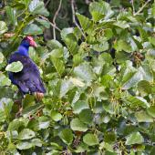 Pukeko. Perching in tree. Whakatane, February 2012. Image © Raewyn Adams by Raewyn Adams