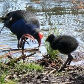 Pukeko. Adult and chick. Hamilton Lake, December 2006. Image © Joke Baars by Joke Baars