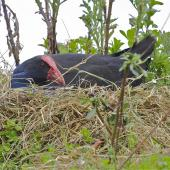 Pukeko. Adult on nest . Christchurch, October 2012. Image © Steve Attwood by Steve Attwood http://stevex2.wordpress.com/