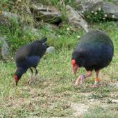 South Island takahe. Adult takahe (right) with adult pukeko for comparison. Maud Island, February 2007. Image © David Boyle by David Boyle