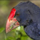South Island takahe. Close view of head. Tiritiri Matangi Island, August 2012. Image © Glenda Rees by Glenda Rees http://www.flickr.com/photos/nzsamphotofanatic/