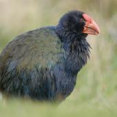 South Island takahe. Adult showing green iridescence on feathers. Kapiti Island, May 2009. Image © Craig McKenzie by Craig McKenzie Craig McKenzie