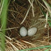 South Island takahe. Nest with 2 eggs among Chionochloa pallens. Murchison Mountains, Fiordland. Image © Department of Conservation (image ref: 10034168) by Daryl Eason, Department of Conservation Courtesy of Department of Conservation