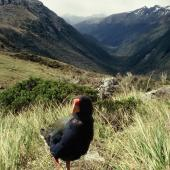 South Island takahe. Adult in Takahe Valley. Takahe Valley, Murchison Mountains, Fiordland. Image © Department of Conservation (image ref: 10062699) by Chris Rance, Department of Conservation Courtesy of Department of Conservation