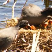 Australian coot. Pair feeding chicks in nest. Palmerston North, November 2014. Image © Alex Scott by Alex Scott