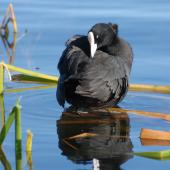Australian coot. Adult preening. Lake Rotoiti, December 2007. Image © Peter Reese by Peter Reese